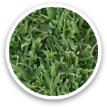 West Coast Turf Bull's-Eye Bermuda® Sample Thumbnail